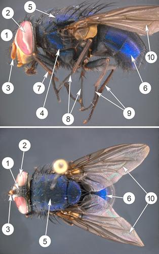 Мухи мясные - Внешнее строение представителя</p> семейства мясных мух