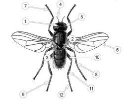 Пиофилиды - Внешнее строение Сырной мухи </p>(Piophila casei)