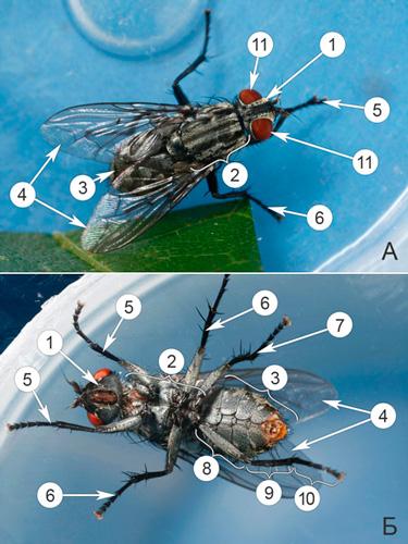 Мухи мясные серые - Внешнее строение мух семейства </p>Сапрофагов (Мясные серые мухи)