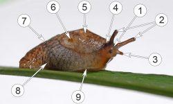 Слизни полевые - Внешнее строение Сетчатого слизня </p>(<em>Deroceras reticulatum</em>)