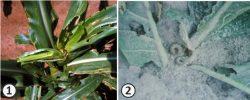 Совки (Ночницы) - Повреждение растений гусеницами Совок