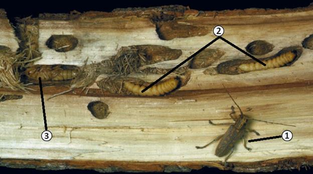 Усачи (дровосеки) - Развитие в стволе дерева