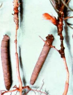 Комары – долгоножки (караморы) - Личинки