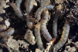 Толстоножки - Личинки в почве