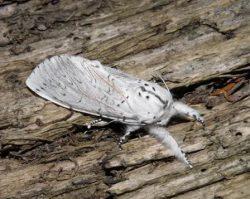 Хохлатки - Бабочка