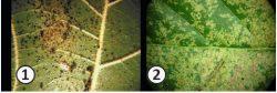 Кружевницы - Повреждения на листьях