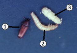 Чернотелки - Три стадии развития