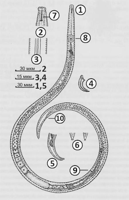 Афеленхоидиды - Строение взрослой нематоды