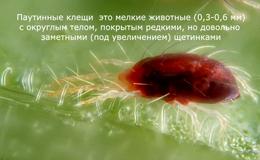 Клещи паутинные - Особенности биологии паутинных клещей