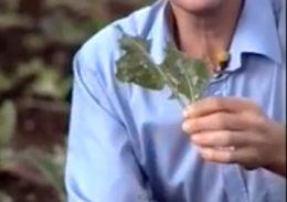 Белянки - Повреждение капусты гусеницами <p>капустной белянки