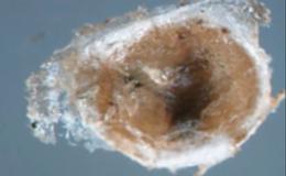 Щитовки - Бродяжка щитовки