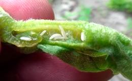 Галлицы - Личинки <em>Continaria negundinis</em></p> внутри галла