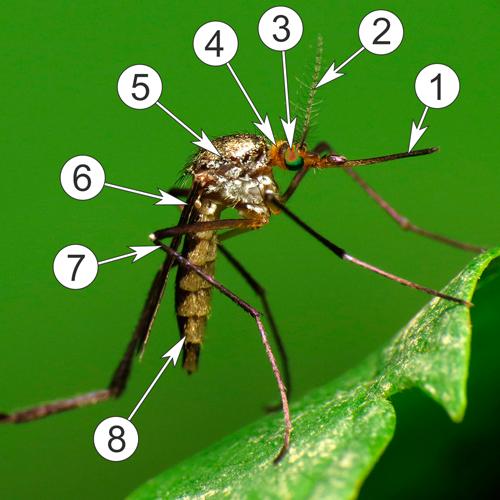 Комары - Комар, строение