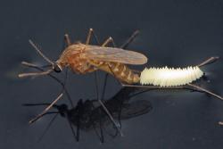 Комары - Откладывание яиц