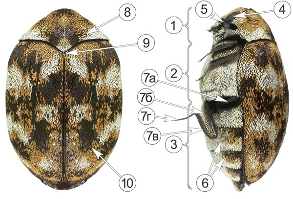 Кожееды - Кожеед домовой – Anthrenus verbasci </p>(Linnaeus, 1767), морфология имаго