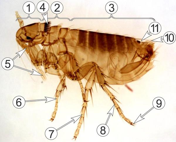 Блохи обыкновенные - Морфологическое строение самца </p>беличьей блохи (лат. Oropsylla Montana)