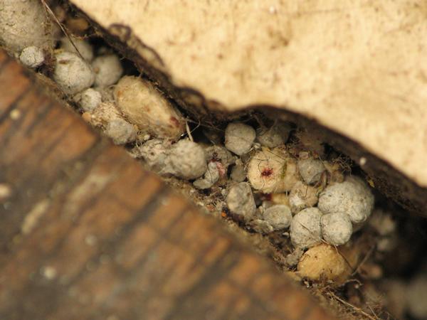 Блохи обыкновенные - Куколки кошачьей блохи (лат. Ctenocephalides felis)</p> в щелях между половицами