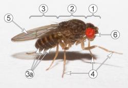 Дрозофилы (Плодовые мушки) - Дрозофила хайдэи </p>(Drosophila hydei, Sturtevant, 1921),</p> морфология