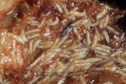 Дрозофилы (Плодовые мушки) - Личинки дрозофилы