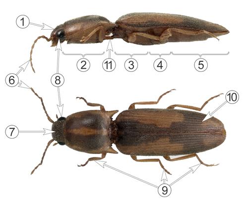 Щелкуны - Морфология Табачного щелкуна</p> (Conoderus vespertinus)