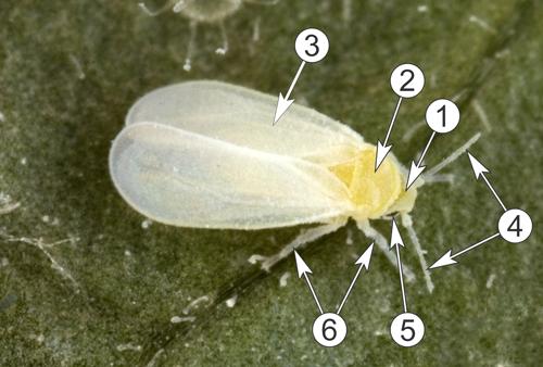 Белокрылки - Морфологическое строение тепличной (оранжерейной) </p>белокрылки (лат. <em>Trialeurodes vaporariorum</em>)