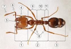 Муравьи - Морфология рабочего Огненного муравья</p> (Solenopsis geminata)