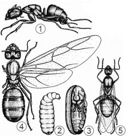 Муравьи - Золотистоволосый  муравей-древоточец </p>(Camponotus saxatilis)