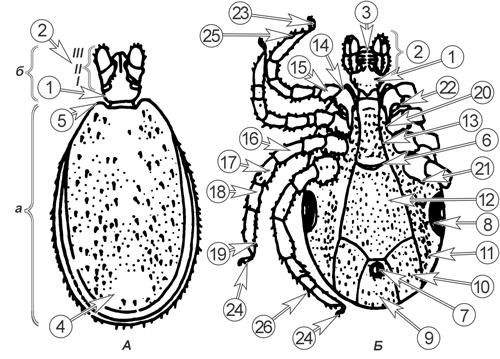 Клещи иксодовые - Схема строения самца </p>Клеща европейского лесного </p> (Ixodes ricinus).