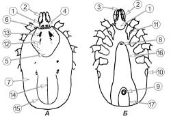 Клещи иксодовые - Схема строения самки </p>Клеща европейского лесного</p> (Ixodes ricinus)