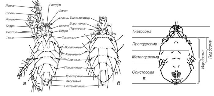 Клещи паутинные - Морфология паутинных клещей