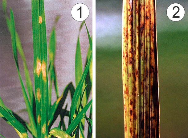 Микроэлементы - Изменения листьев при дефиците цинка