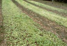 Аммонийно-нитратные удобрения - Признаки дефицита азота