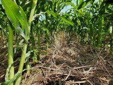 Азотные удобрения - Солома и стерня злаков