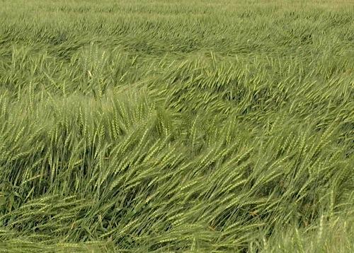 Азотные удобрения - Полегание пшеницы