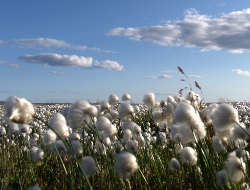 Фосфорные удобрения - Хлопок – фосфоролюбивая культура