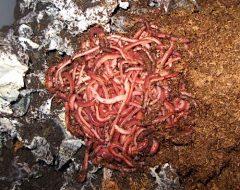 Органические удобрения - Красный калифорнийский червь