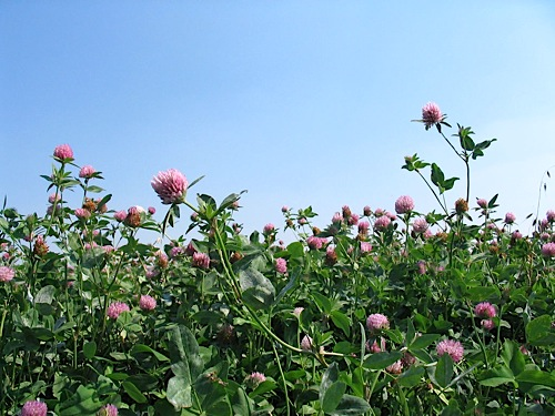 Серосодержащие удобрения - Клевер – «любитель» серы