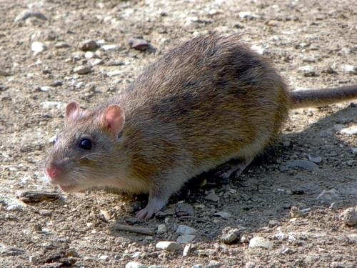 Антикоагулянты крови - Серая крыса