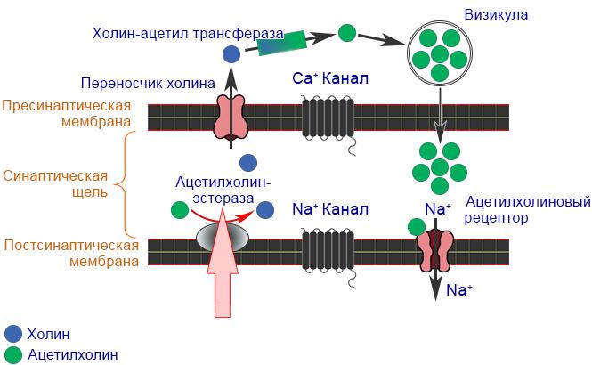 Фосфорорганические соединения (ФОС) - Механизм действия