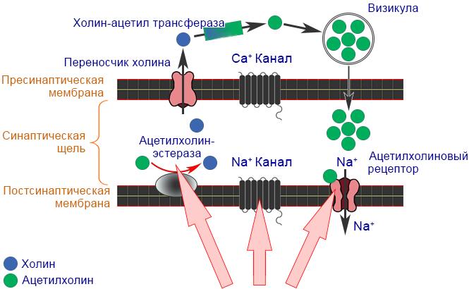 Неоникотиноиды - Механизм действия неоникотиноидов