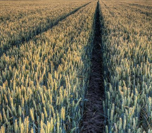 Грибные фунгициды - Пшеница