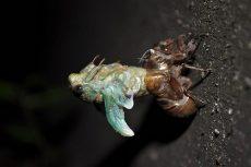 Ингибиторы синтеза хитина (ИСХ) - Процесс линьки у насекомых