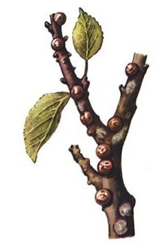 Минеральные масла - Яблонная ложнощитовка