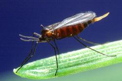 Вредители зерновых злаковых культур - Гессенская муха (Mayetiola destructor)