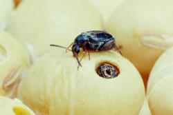 Вредители запасов - Зерновка фасолевая</p> (Acanthoscelides obtectus)
