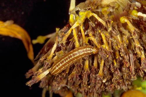 Вредители масличных культур - Личинка  Американский подсолнечной моли