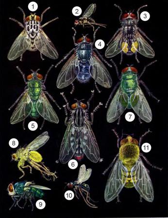 Синантропные мухи - Синантропные мухи