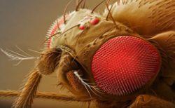 Синантропные мухи - Макросъемка синантропных мух