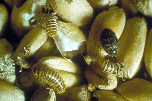 Вредители запасов - Жук капровый (Trogoderma granarium)