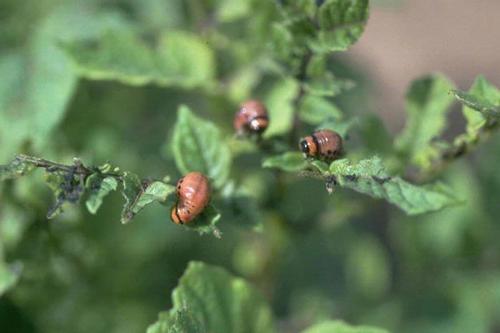 Вредители овощных культур - Личинки колорадского жука (<i>Leptinotarsa decemlineata</i>)